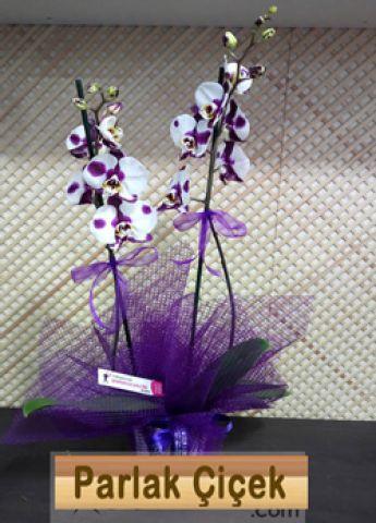 İstoç Çiçekçi Dalmaçyalı Orkide
